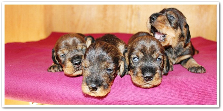 cuccioli di bassotto