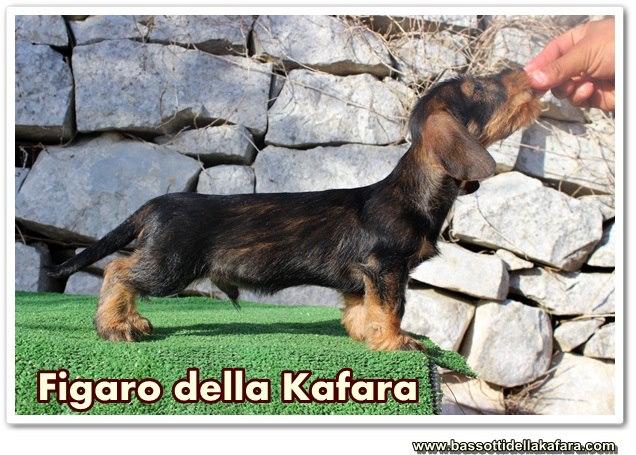 Figaro della Kafara