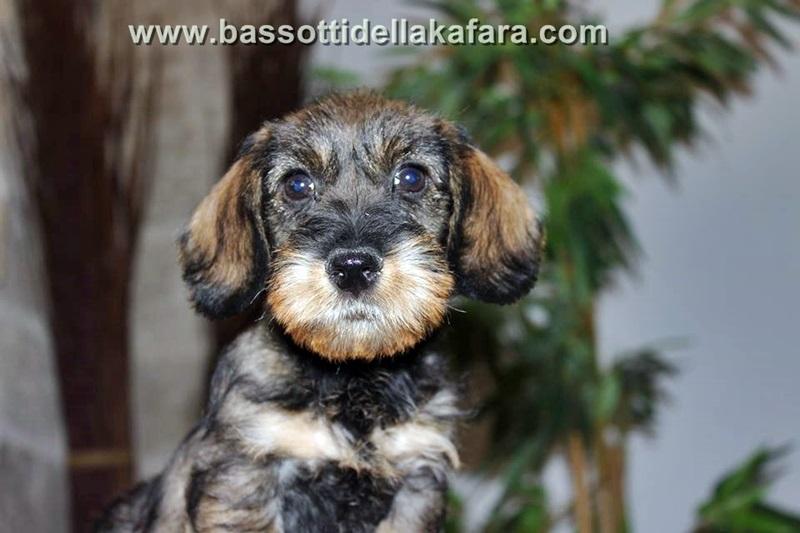cuccioli-bassotto-peloduro-disponibili-2