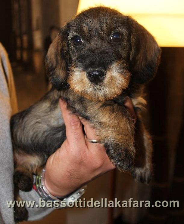 cuccioli-bassotto-peloduro-disponibili